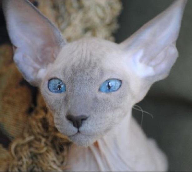 gatti senza pelo peterbald