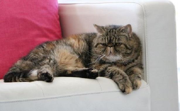 gatto exotic shortair