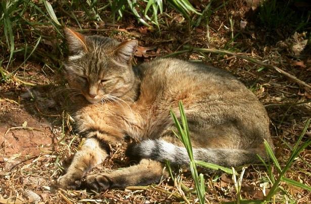 gatto selvatico africano