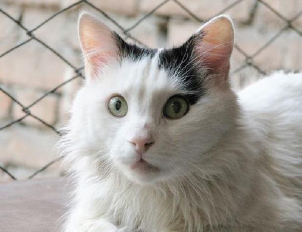 gatto turco van