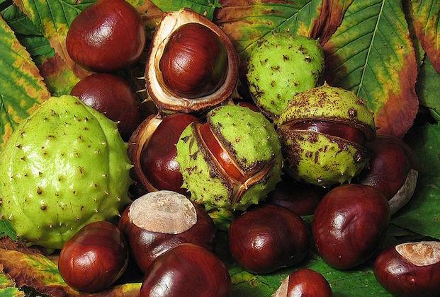 ippocastano frutto