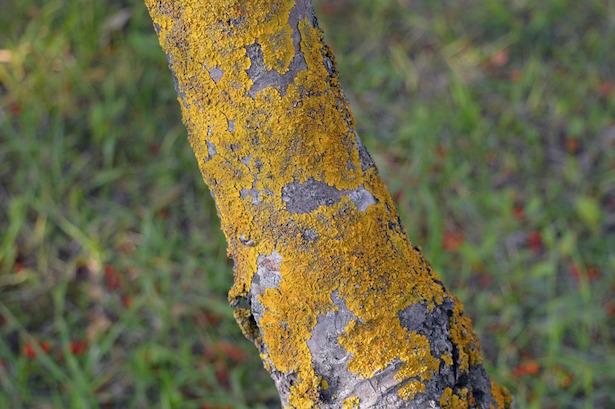 licheni su piante