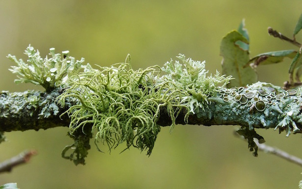 licheni sui tronchi