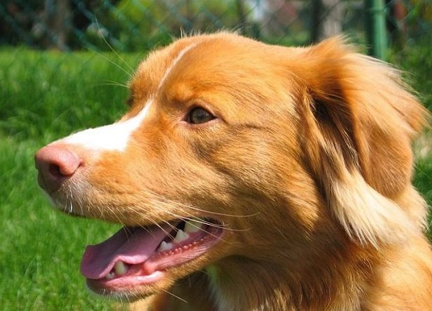 Nova Scotia Duck Tolling Retriever: carattere