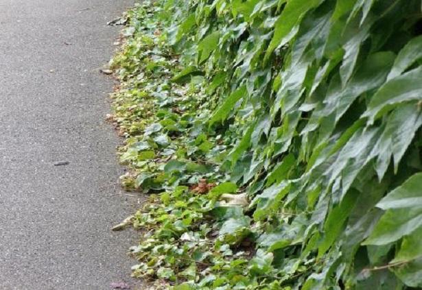 Piante rampicanti come sceglierle idee green for Piante da frutto rampicanti