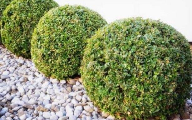 Pitosforo o pittosporo pianta da siepe idee green for Pitosforo siepe