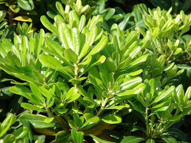 Pitosforo o pittosporo pianta da siepe idee green for Piante da cespuglio