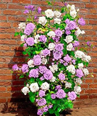 rosa rampicante bianca lilla