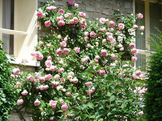 Piante rampicanti come sceglierle idee green for Piante profumate da giardino