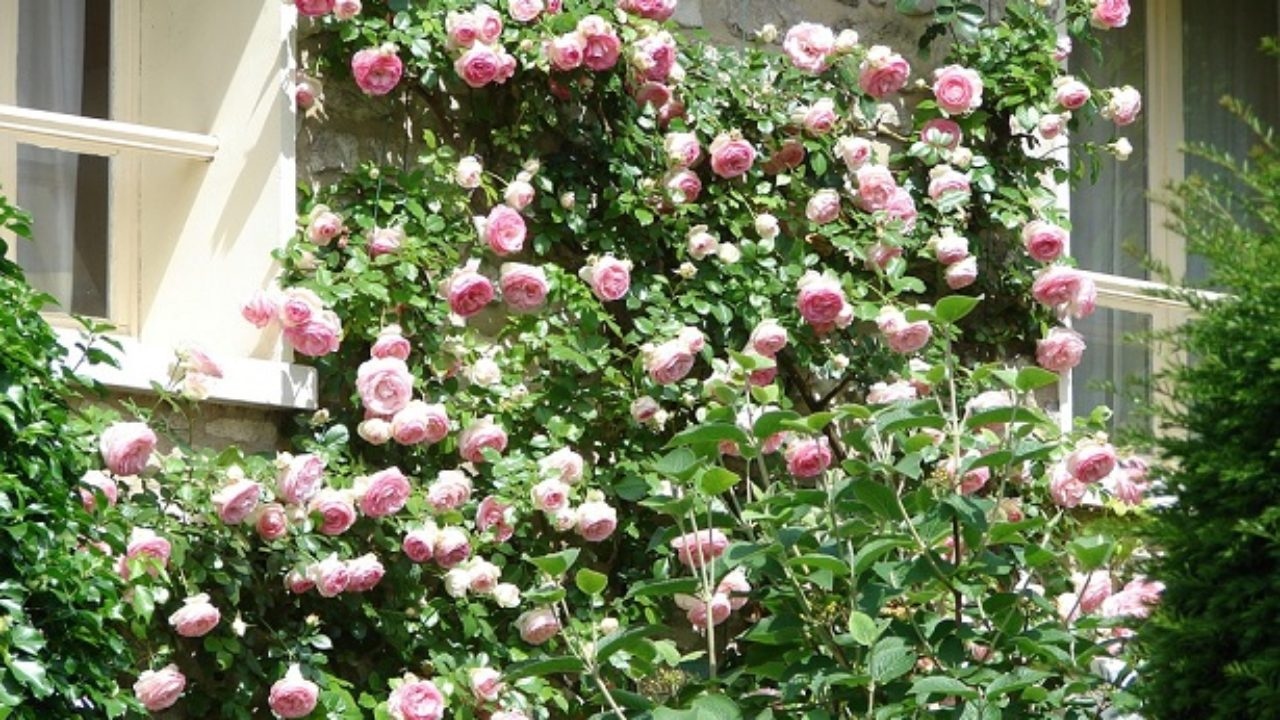 Rose Rampicanti Senza Spine rose rampicanti - idee green