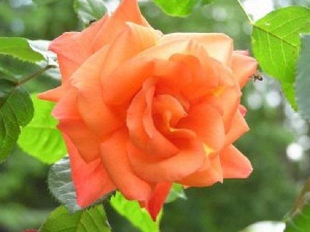 rose rampicanti westerland