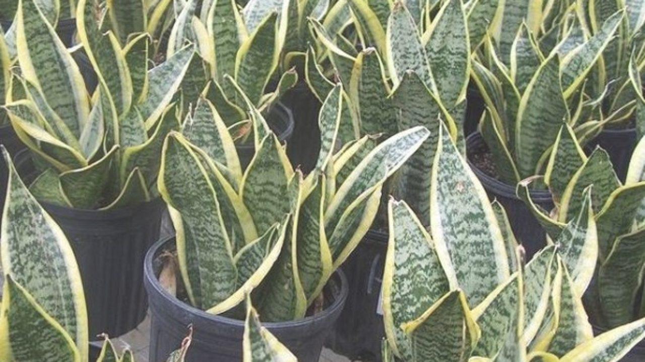 Piante Strane Da Appartamento sanseveria: pianta e sua coltivazione - idee green