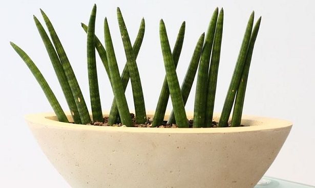 sanseveria cilindrica