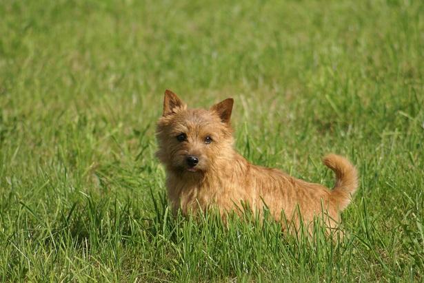 Norwich Terrier: carattere e allevamenti - Idee Green