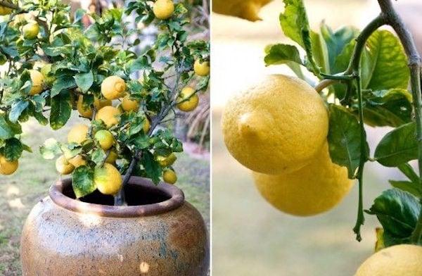 Come coltivare limoni in vaso idee green for Limoni in vaso