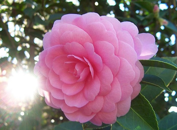 Camelia japonica idee green for Camelia japonica in vaso