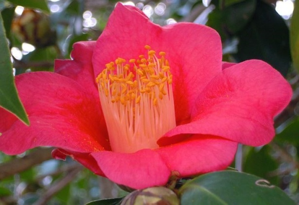 Camelia Japonica - Idee Green