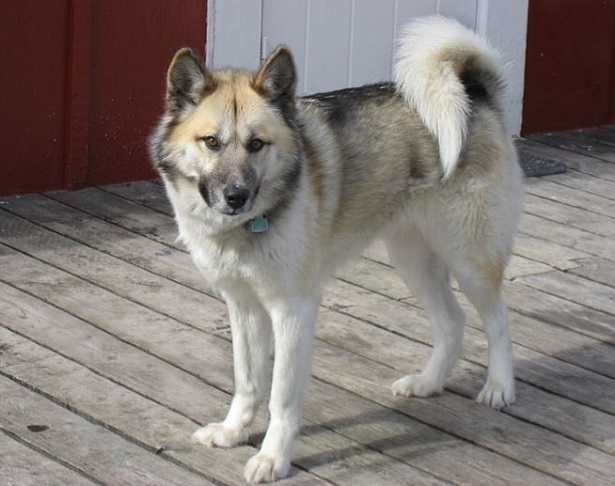 cane groenlandese