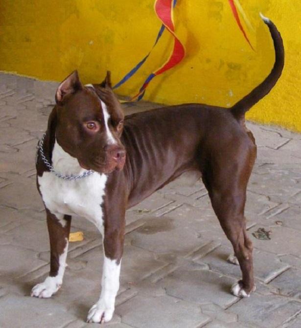 cane pitbull