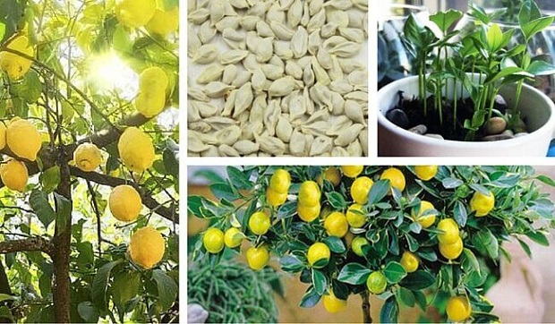 Come piantare i semi di limone idee green for Limoni coltivazione in vaso