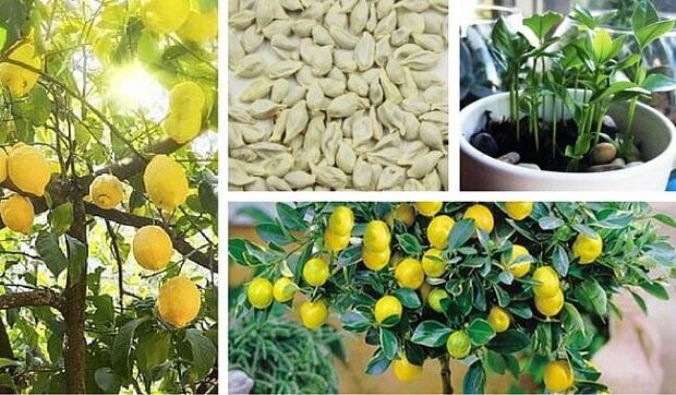 piantare semi di limone in vaso