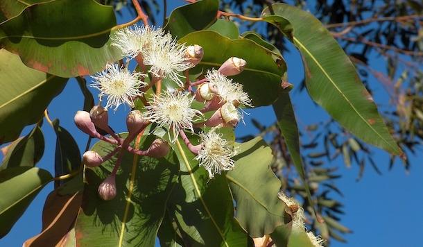 eucalipto proprieta usi foglie