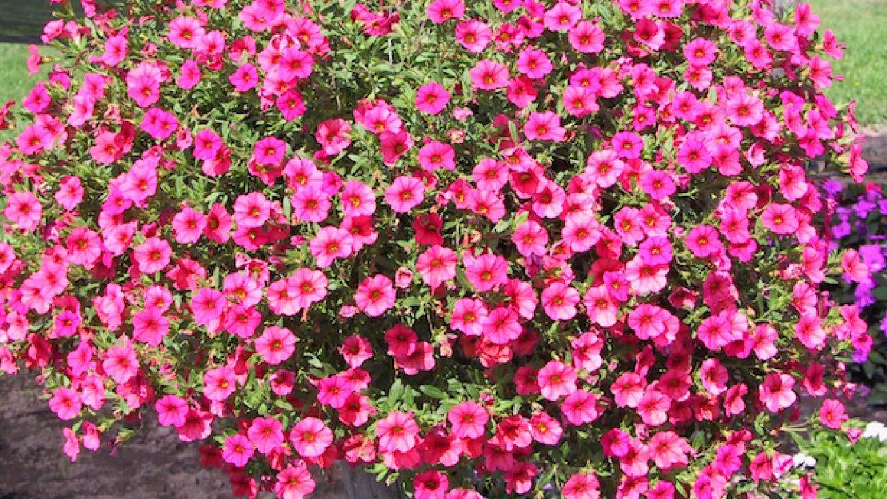 Fiori Da Balcone Ombra fiori da balcone estivi e primaverili - idee green