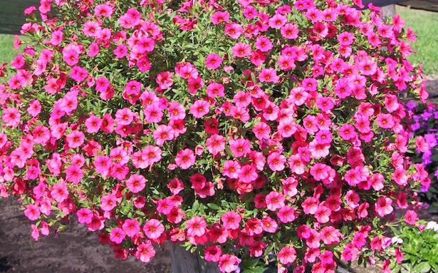 Fiori da balcone estivi e primaverili idee green - Fiori da giardino estivi ...