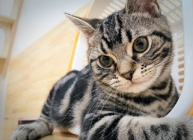 gatto american shortair