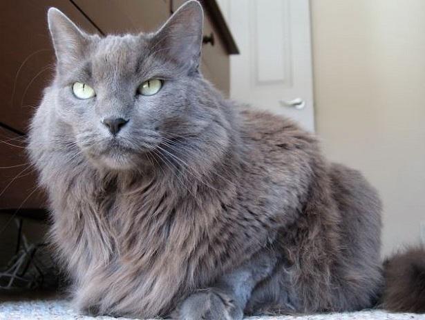 gatto nebelung