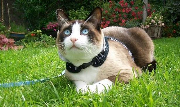 gatto snowshoe