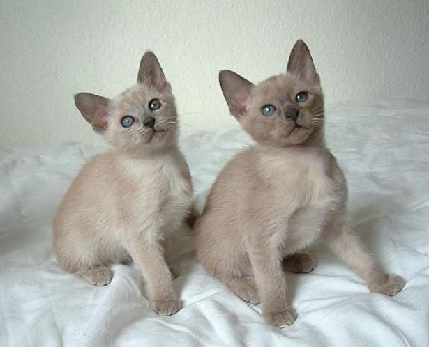 gatto tonkinese