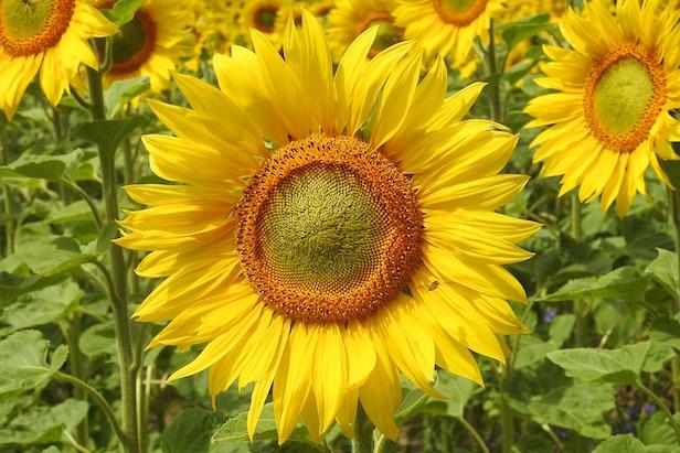 girasole coltivazione in vaso giardino orto