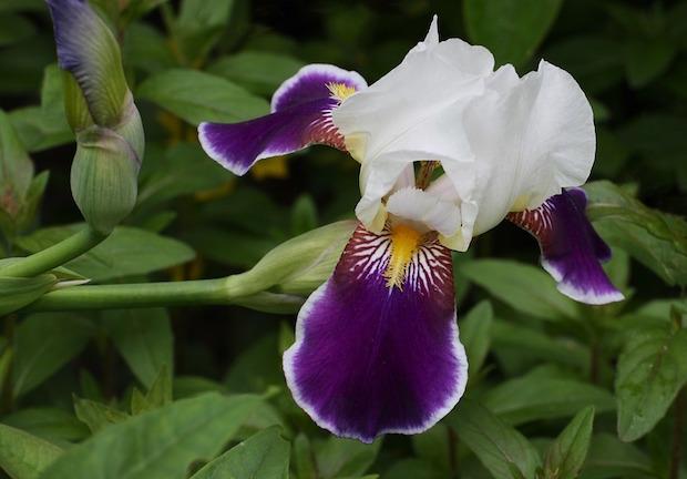 iris coltivazione in casa