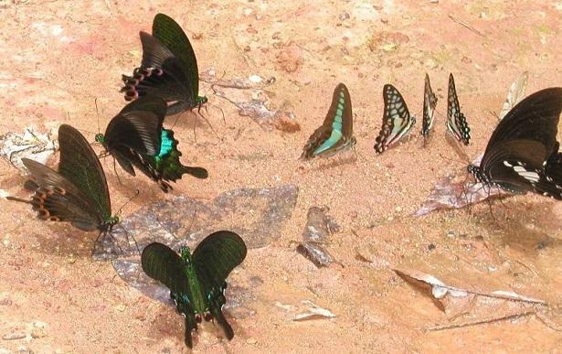 lepidotteri