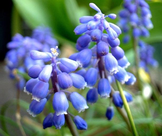fiori di muscari blue