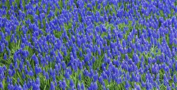prato di muscari blu