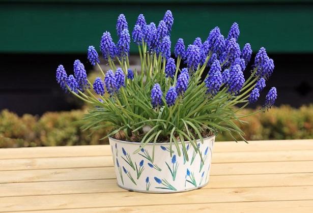 vaso di muscari blu