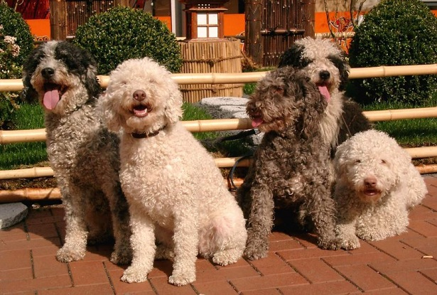 Perro de agua espanol: allevamento
