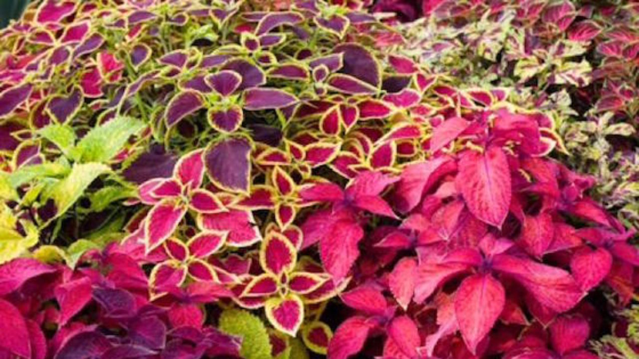 Fiori Da Balcone Ombra piante che non hanno bisogno di sole - idee green