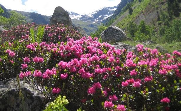 Rododendro: malattie