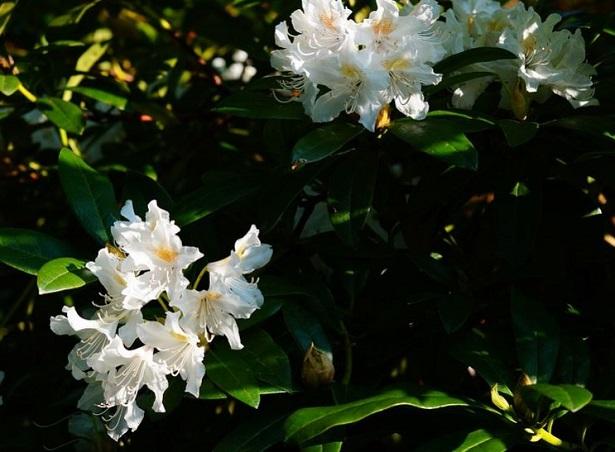 Rododendro: fioritura