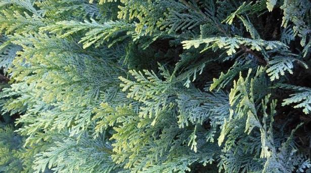 tuia pianta per omeopatia idee green