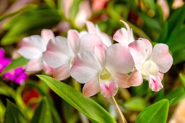 Orchidea varieta