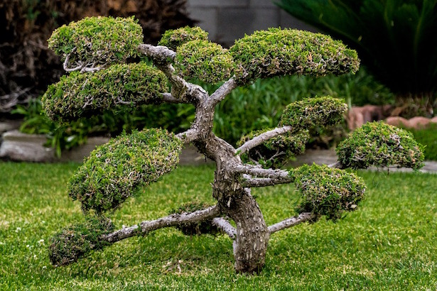 bonsai da interno e bonsai da esterno idee green