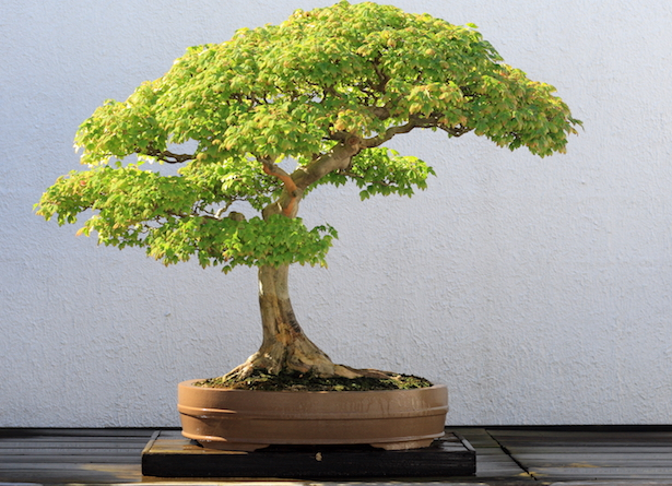 bonsai interno
