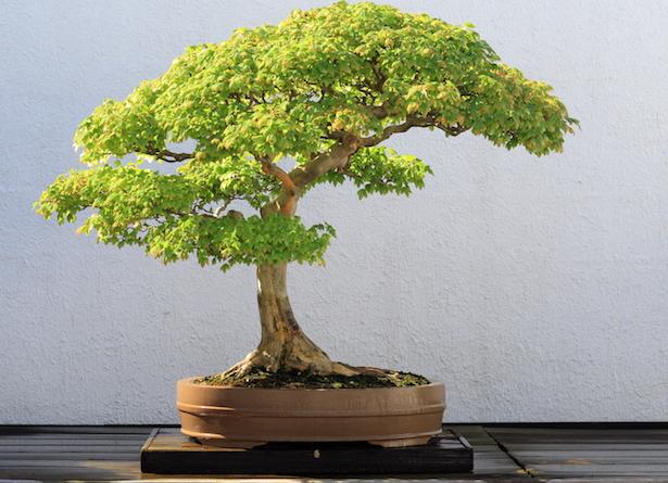 bonsai interno