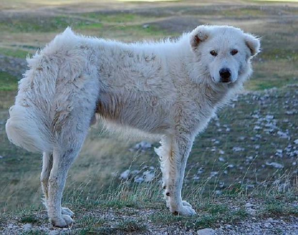 cane da pastore maremmano abruzzese