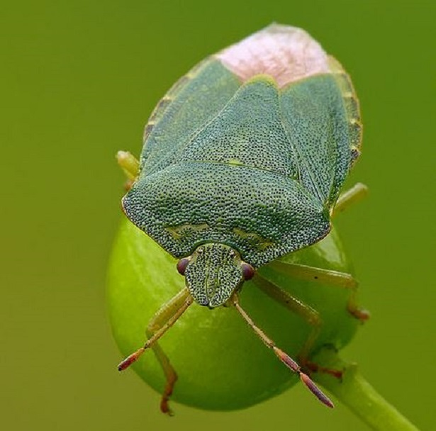 Cimice verde rimedi naturali for Chi mangia le cimici