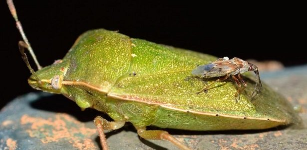 Cimice verde rimedi naturali for Cimice insetto
